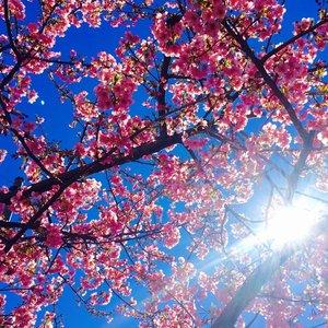 桜の開花予想 もうそこに春が近づいてますよね・・・・  人事見直し倶楽部通信  №2940
